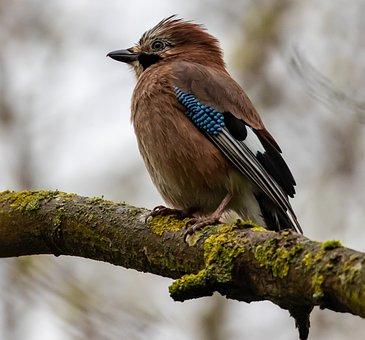 Blue Jay, Jay, Corvid, Bluejay, Wildlife, Nature, Blue