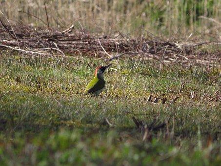 Netherlands, Green Woodpecker, Netherlands Nature