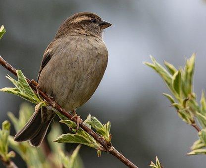 Bird, House Sparrow, Perched, Female Sparrow