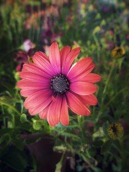 Cape Marguerite, Flower, Plant, Petals, Bloom, Leaves
