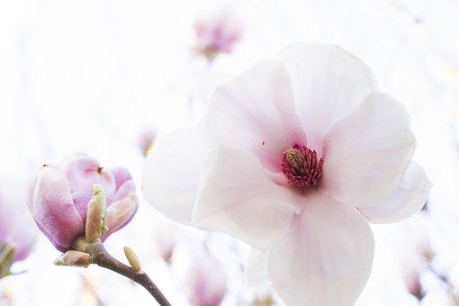 Magnolia, Flowers, Branch, Petals, Buds, Bloom, Tree