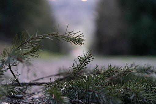 Pine, Leaves, Branch, Pine Needles, Conifer, Ground