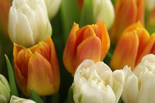 Tulips, Flowers, Plant, White Tulips, Orange Tulips