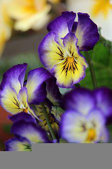 Pansy, Flowers, Plant, Petals, Bloom, Spring Flower