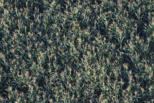 Cornfield, Field, Farm, Corn, Crop, Arable, Plantation