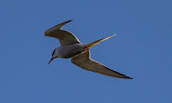 Common Tern, Tern, Sea Swallow, Sea Bird, Fishing, Bird
