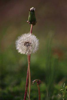 Open Dandelion, Closed, Seed, Wish Flower, Nature