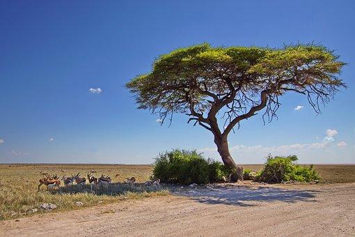 Antelope, Animals, Safari, Springbok, Wildlife, Mammals