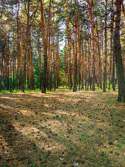 Forest, Trees, Pine, Glade, Cones, Coniferous, Spruce
