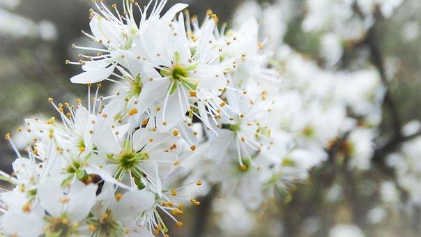 Flowers, Tree, Garden, Blackthorn, Sloes, White Flowers