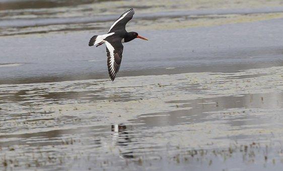 Oyster Catcher, Water Bird, Wader, Orange Beak