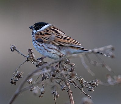 Male Reed Bunting, Reed Bunting, Wetland, Reed