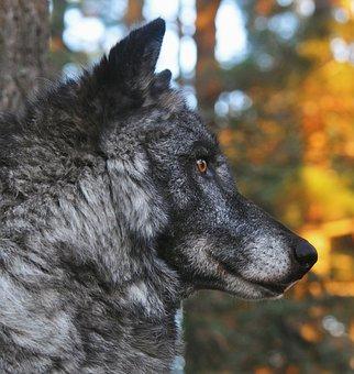 Wolf, Animal, Wildlife, Head, Gray Wolf, Predator