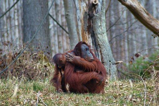 Orangutan, Monkey, Primate, Baby, Animal, Animal Babies