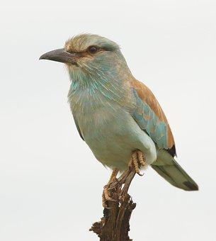 Bird, European Roller, Beak, Feathers, Avian, Wild