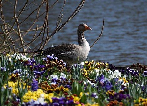 Greylag Goose, Bird, Lake, Flowers, Avian, Ornithology
