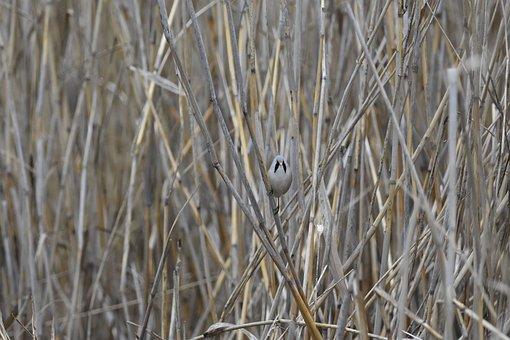 Panurus Biarmicus, Bearded Reedling, Nature, Animal