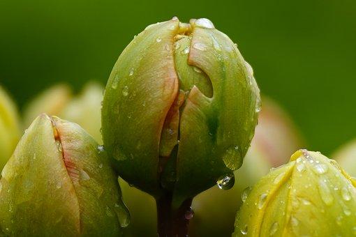 Tulip, Bud, Flower, Blossom, Bloom, Tulip Bud, Close Up