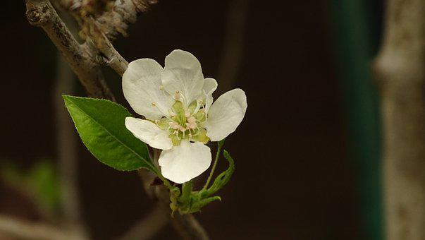 Pear, Tree, Spring, Nature, Plant, Fruit, Bloom, Branch