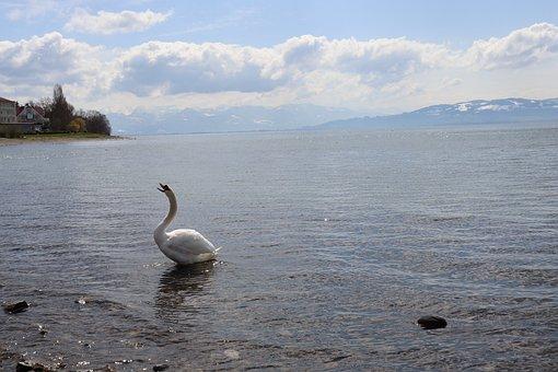 Background, Swan, Lake, Water, Nature, Water Bird, Blue