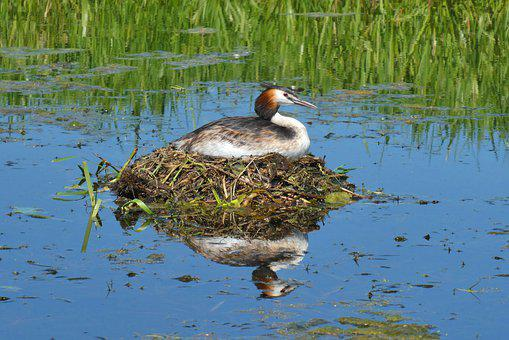 Grebe, Nest, Waterfowl, Hatch, Brood Care, Water