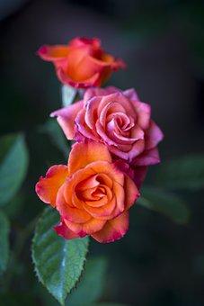 Flower, Rose, Bud, Scent, Stamen, Flora, Botany