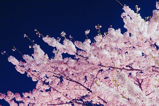 Flowers, Cherry Blossom, Cherry Flower, Spring