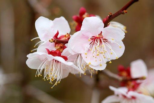 Cherry Blossom, Cherry Blossoms, Spring, Nature