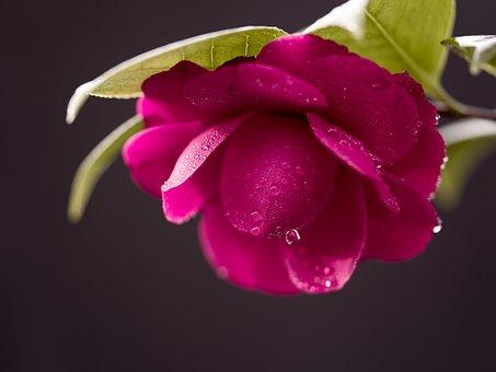 Flowers, Camellia, Petals, Dew, Drops, Spring, Rainy