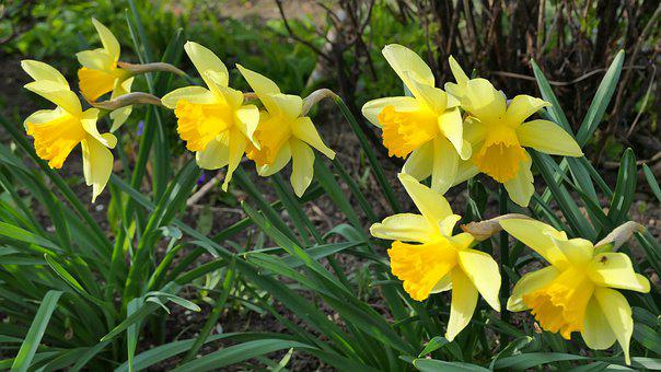 Daffodils, Flowers, Happy Easter, Spring, Easter