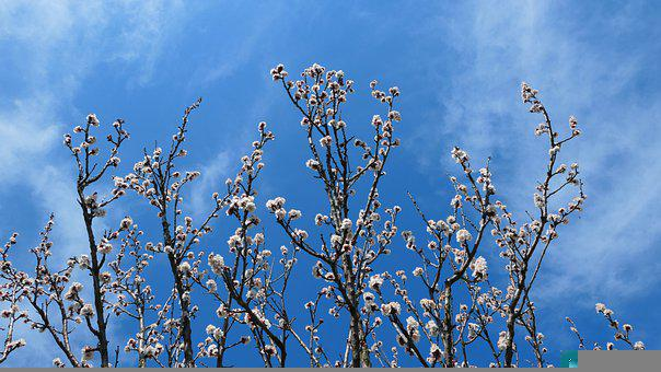 Flowers, Apricot, Tree, Spring, Flower, Garden, Nature