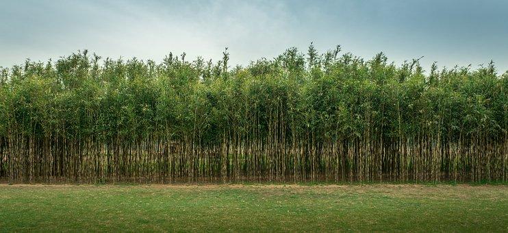 Bamboo, Woods, Forest, Plants, Field, Meadow, Landscape