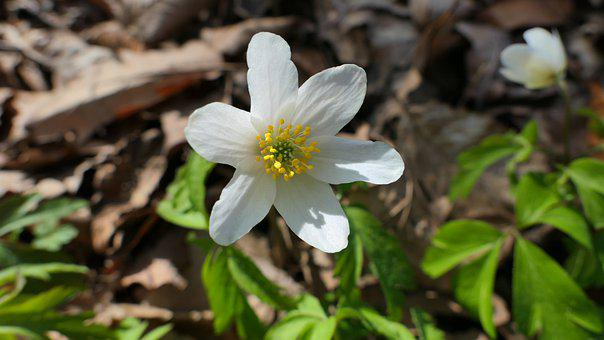 Anemone, Flower, Happy Easter, Easter, Eastern, Plant