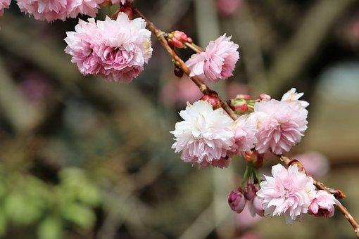 Japanese Cherry Blossom, Branch, Tree, Spring Awakening