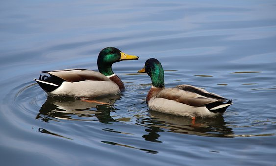 Ducks, Mallards, Lake, Juvenile, Birds, Waterfowls