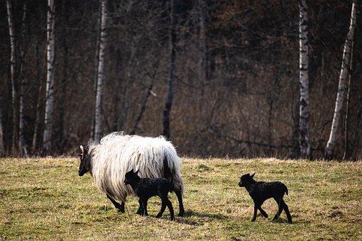 Sheep, Lamb, Lambs, Pasture, Spring, Kid