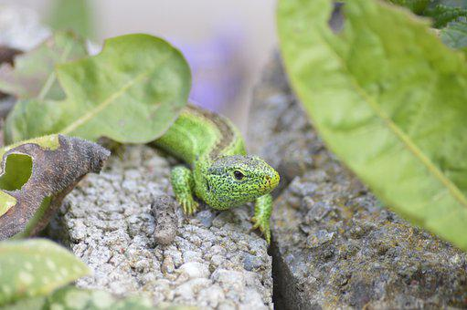 Lizard, Animal, Stone, Leaves, Sand Lizard, Reptile