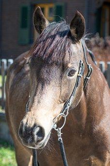 Horse, Pony, Animal, Head, Brown Horse, Mare