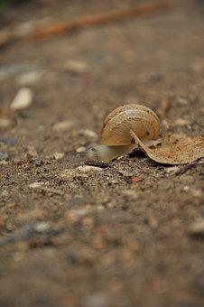 Snail, Shell, Ground, Animal, Mollusk, Slow, Nature