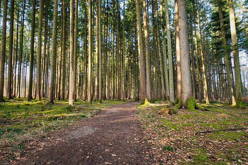 Forest, Trees, Trail, Forest Path, Path, Road, Spring