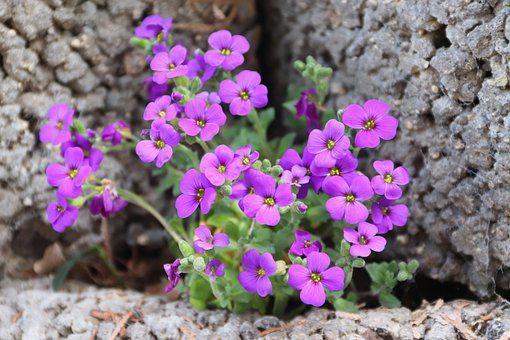Rock Cress, Flowers, Stones, Plant, Purple Rock Cress
