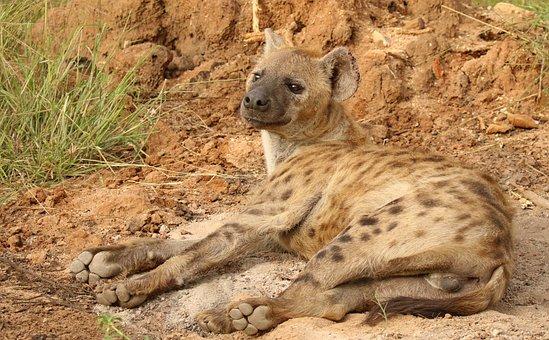 Hyena, Carnivore, Predator, Wild, Mammal, Africa