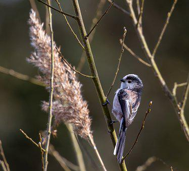 Long-tailed Tit, Bird, Perched, Silver-throated Tit