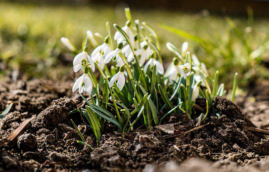 Snowdrops, Flowers, Plant, Spring, White Flowers, Bloom