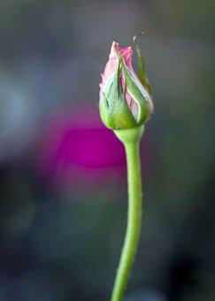 Rose Bud, Scent, Flower, Stamen, Flora, Botany