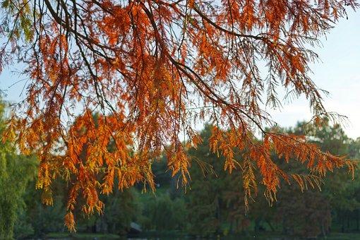 Tree, Branch, Nature, Autumn, Conifer, Coniferous