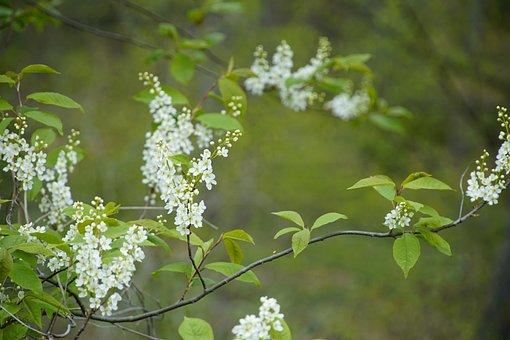 Prunus Padus, Bird Cherry, Spring, Tree, Prunus