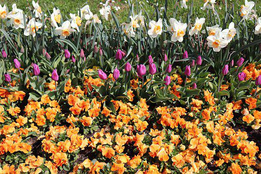 Spring, Flowers, Bloom, Colorful, Tulips, Osterglocken