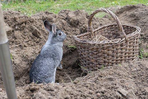 Chinchilla Rabbit, Garden, Field, Vegetable Patch