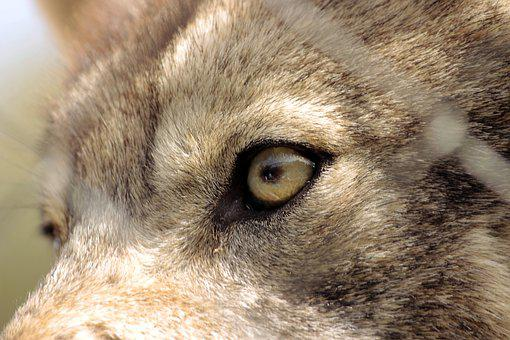 Wolf, Eye, Look, Observe, View, Wild Animal, Grey Wolf